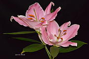 Jeannie Rhode - Pink Lilies in Full Bloom
