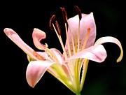 Amee Stadler - Pink Lily