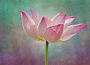 Water Lillies Prints - Pink Lotus Blossom Print by Susan Candelario