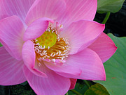Pink Tapestries - Textiles Metal Prints - Pink lotus Metal Print by Dan A  Barker
