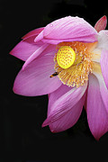Pink Flower Prints Originals - Pink Lotus Flower 1 by Heng Tan