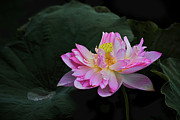Pink Flower Prints Originals - Pink Lotus Flower 2 by Heng Tan