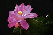 Pink Flower Prints Originals - Pink Lotus Flower 4 by Heng Tan