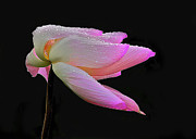Pink Flower Prints Originals - Pink Lotus Flower 6 by Heng Tan