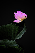 Pink Flower Prints Originals - Pink Lotus Flower 7 by Heng Tan