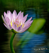 Purple Lotus Flower Impressionism Print by Carol F Austin