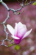 Pink Magnolia Flower Print by Oscar Gutierrez