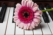 Keyboards Prints - Pink mum on piano keys Print by Garry Gay