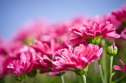 Raindrops Photos - Pink mums by Elena Elisseeva