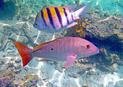 Parrot Fish Metal Prints - Pink Mutton Metal Print by Carey Chen