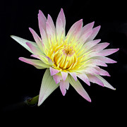 Sabrina L Ryan - Pink n Yellow Water Lily too
