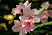 Crosswalk Photos - Pink Nerium Oleander by Beverly Guilliams