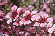 Tea Tree Flower Framed Prints - Pink New Zeland Tea tree macro Framed Print by Ken Brown
