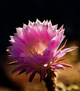 Bloomer Prints - Pink Night Bloomer Print by Robert Bales