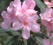 Oleanders Framed Prints - Pink Oleander 2 Framed Print by Cathy Lindsey