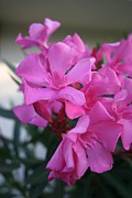 Tracey Harrington-Simpson - Pink Oleander Bunch