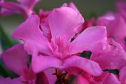 Tracey Harrington-Simpson - Pink Oleander Flower With Green Leaves in the Background