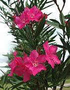 Oleander Posters - Pink Oleander in Full bloom Poster by Peter Piatt