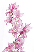 Landscapes Greeting Cards Pyrography Posters - Pink Orchid Poster by Boon Mee