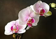Judy Palkimas - Pink Orchid