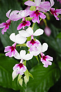 Orchids Photos - Pink Orchid Sprig by Oscar Gutierrez