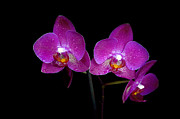 Flower Design Photo Originals - Pink orchid  by Tommy Hammarsten
