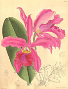 Flora Drawings Prints - Pink Orchid Print by Unknown