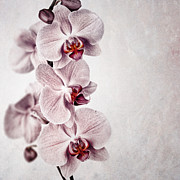 Manuscript Photo Prints - Pink orchid vintage Print by Jane Rix