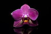 High Vulnerability Prints - Pink orchid with reflection Print by Tommy Hammarsten