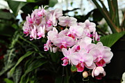 Perrenials Prints - Pink Orchids 5D22430 Print by Wingsdomain Art and Photography
