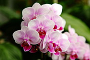Perrenials Prints - Pink Orchids 5D22439 Print by Wingsdomain Art and Photography