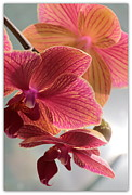 Pretty Flowers Photos - Pink Orchids by Carol Groenen