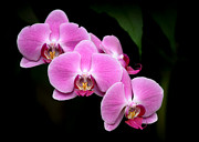 Thai Framed Prints - Pink Orchids in a Row Framed Print by Sabrina L Ryan
