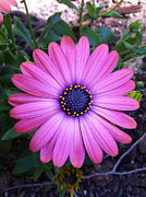 Asti Photos - Pink Osteospermum Asti by Zoe Calloway