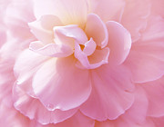 Begonias Posters - Pink Pastel Begonia Flower Poster by Jennie Marie Schell