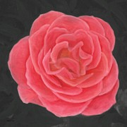 Bloom Pastels - Pink Pastel Rose by Barbara St Jean