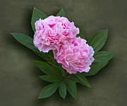 Jane McIlroy - Pink Peonies