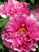 Rebecca Overton - Pink Peonies
