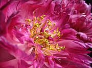 Fushia Photo Metal Prints - Pink Peony Flower Macro Metal Print by Jennie Marie Schell