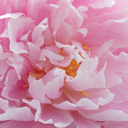Light Pink Prints - Pink Peony Flower Waving Petals  Print by Jennie Marie Schell