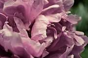 Michelle Calkins - Pink Peony in Morning