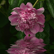 Rick Friedle - Pink Peony Reflection