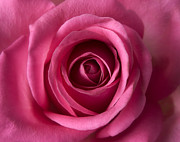 Photographs Digital Art - Pink Perfection - Roses Flowers Macro Fine Art Photography by Artecco Fine Art Photography - Photograph by Nadja Drieling