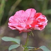 Corinne Rhode - Pink Petals