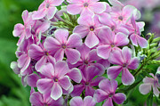 Aperture Posters - Pink Phlox in Pine River Poster by Chris Tennis