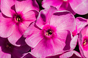 Phlox Framed Prints - Pink Phloxes 2 Framed Print by Alexander Senin