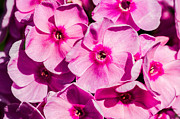 Phlox Framed Prints - Pink Phloxes 3 Framed Print by Alexander Senin