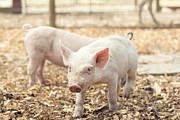 Barn Yard Photo Prints - Pink Piglet Print by Stephanie McDowell