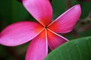 Charmian Vistaunet - Pink Plumeria and Leaf
