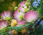 Mimosa Flowers Prints - Pink Pom Poms Print by Bill Pevlor